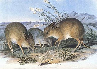 Pig-footed bandicoot - Illustration by John Gould