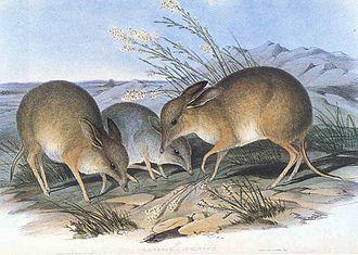 Chaeropus - Illustration by John Gould