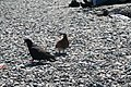 Pigeons on Batumi Beach.jpg
