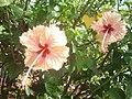 Pink Hibiscus 2.jpg