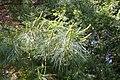 Pinus armandii foliage.JPG