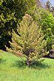 Pinus koraiensis (arboretum du vallon de l'Aubonne).JPG