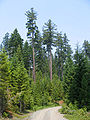 Pinus lambertiana Boulder Creek OR.jpg