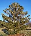 Pinus peuce.jpg