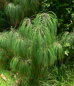 Cumbres de Monterrey National Park - Smooth-bark Mexican pine (Pinus pseudostrobus)