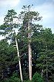 Pinus resinosa SeneyNWR.jpg