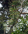 Pinus sylvestris Seattle 01b.jpg