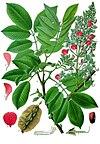 Piscidia piscipula - Köhler–s Medizinal-Pflanzen-109.jpg
