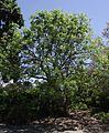 Pistacia chinensis 1.jpg
