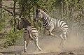 Plains zebra (common zebra or Burchell's zebra), Equus quagga at Kruger National Park, Limpopo, South Africa (48258372702).jpg