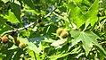 Platanus orientalis - immature fruit.JPG