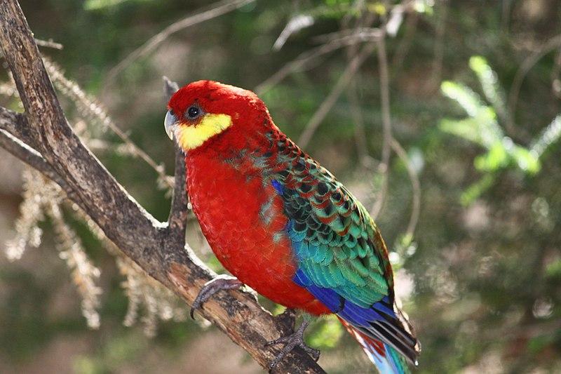 File:Platycercus icterotis -Rainbow Jungle, Kalbarri, Western Australia, Australia-8a.jpg