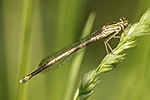 Yellow damselfly