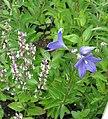 Platycodon grandiflorus - Flickr - peganum.jpg