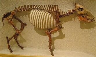 Platygonus - Platygonus compressus skeleton at Harvard University