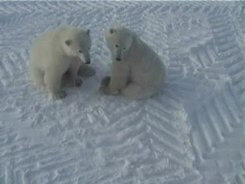 Податотека:Play fight of polar bears - long version.wmv.ogv