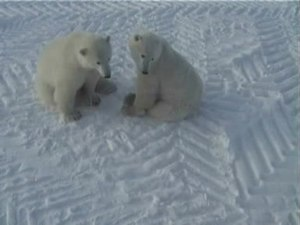 File:Play fight of polar bears - long version.wmv.ogv