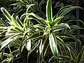 Pleomele reflexa variegata-1-yercaud-salem-India.JPG