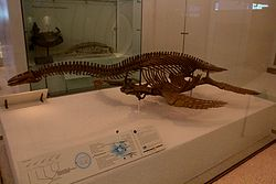 Plesiosaur at the American Museum of Natural History.jpg