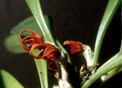 240px pleurothallis tribuloides orchi 002