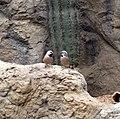 Poephila acuticauda -Indianapolis Zoo, Indiana, USA-8a.jpg