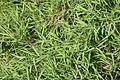 Pogonatherum paniceum 2zz.jpg