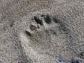 Polar bear footprint.jpg