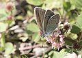 Polyommatus coelestinus - Çokgözlü Rusmavisi 09.jpg