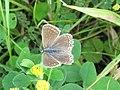 Polyommatus icarus (Common Blue), female, Arnhem, the Netherlands.jpg