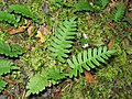 Polypodium virginianum 5-eheep (5098038198).jpg