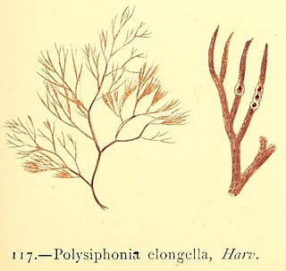 <i>Polysiphonia elongella</i> species of algae