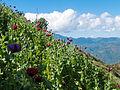 Poppy hillside landscape.jpg