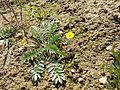 Potentilla anserina (subsp. anserina) sl9.jpg