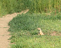 Prairie dog open space.jpg