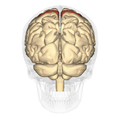 Precentral gyrus - posterior view.png