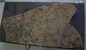 Presbyornis - An assemblage of Presbyornis pervetus skeletons (AMNH 28505)
