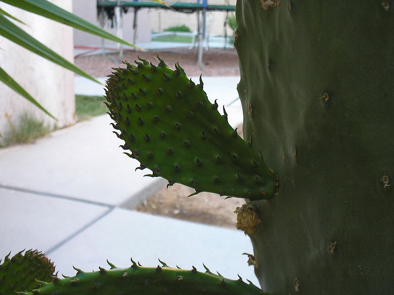 File:Prickly Pear 4half.JPG