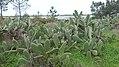 Prickly Pear Cactus (Opuntia ficus indica) (11953323016).jpg