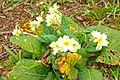 Primroses, Killynether Wood, Newtownards - geograph.org.uk - 1208251.jpg