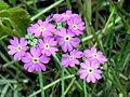 Primula farinosa (1).jpg