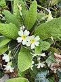 Primula vulgaris 126665549.jpg