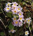 Primula vulgaris subsp. sibthorpii01.jpg