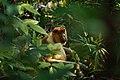 Proboscis monkey - Bako National Park - Sarawak - Borneo - Malaysia - panoramio.jpg