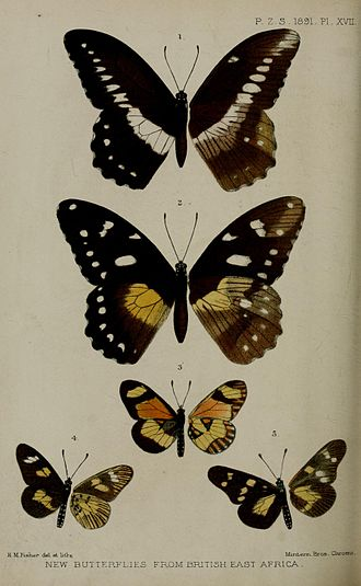 Papilio jacksoni - Emily Sharpe's illustration of the male (figure 1) and female (figure 2) of Papilio jacksoni in the Proceedings of the Zoological Society of London