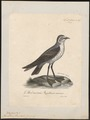 Procellaria fregata - 1825-1834 - Print - Iconographia Zoologica - Special Collections University of Amsterdam - UBA01 IZ17900058.tif