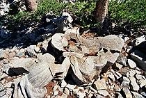 Prometheus tree1.jpg