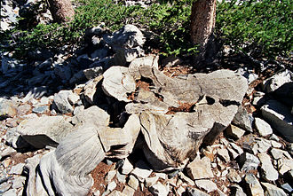 Radiocarbon dating - The stump of a very old bristlecone pine.  Tree rings from these trees (among others) are used in building calibration curves.