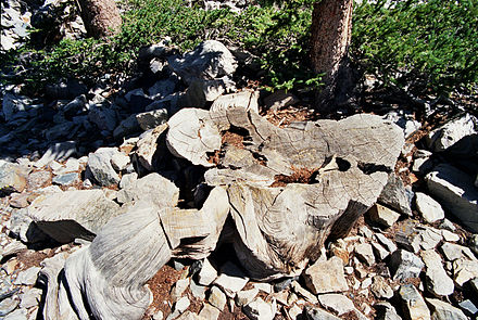 The stump of a very old bristlecone pine. Tree rings from these trees (among others) are used in building calibration curves. Prometheus tree1.jpg