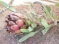 Protea parvula 15885811.jpg