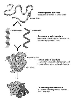 Dall'alto verso il basso: rappresentazione della struttura primaria, secondaria, terziaria e quaternaria di una proteina.